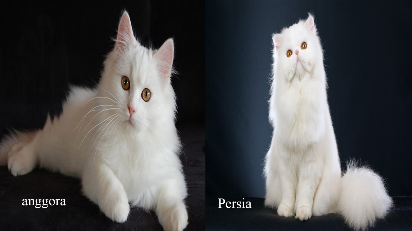 Download 99+  Gambar Kucing Persia Ras Asli Imut